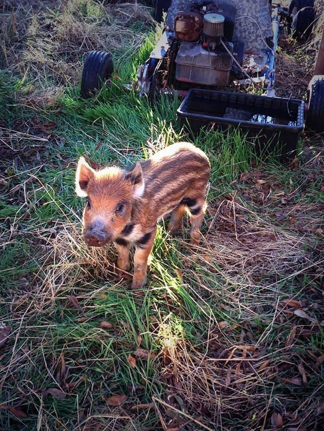 cute baby animals boar