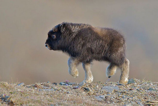cute baby animals musk ox