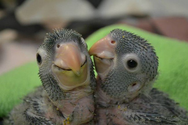 cute baby animals parrots