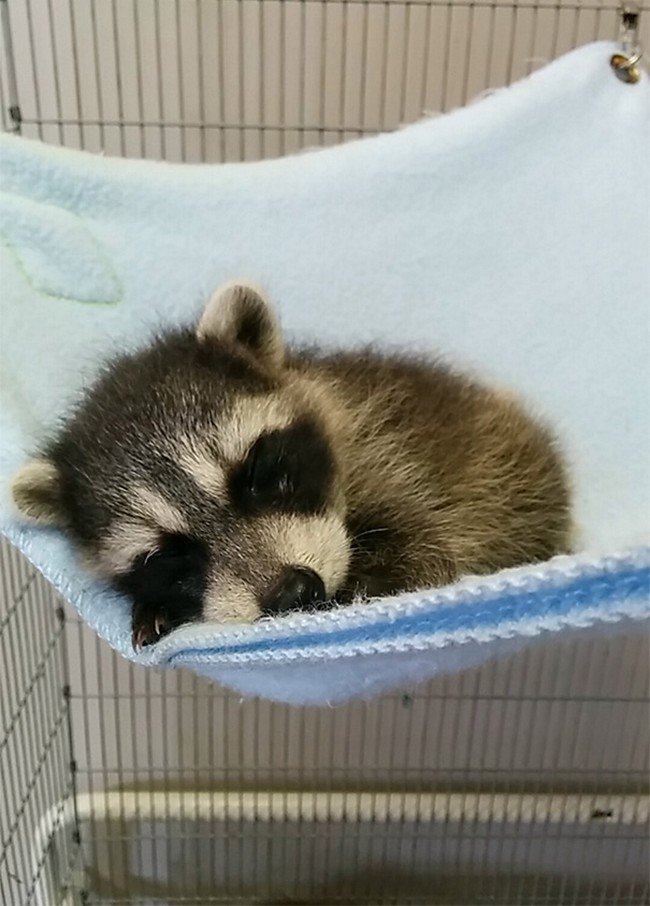 cute baby animals raccoon