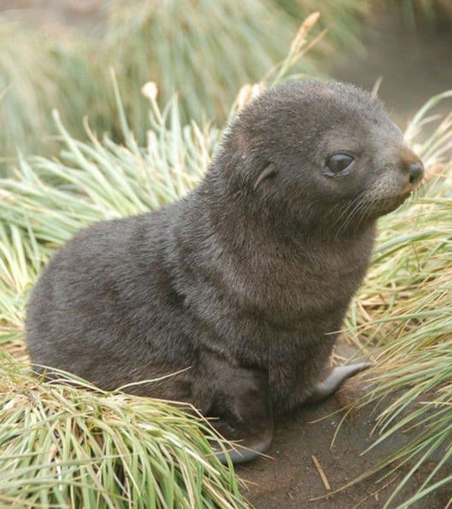 cute baby animals seal pup