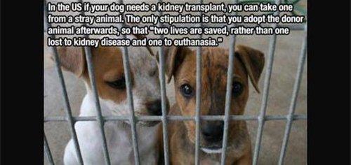 dog kidney transplant fact