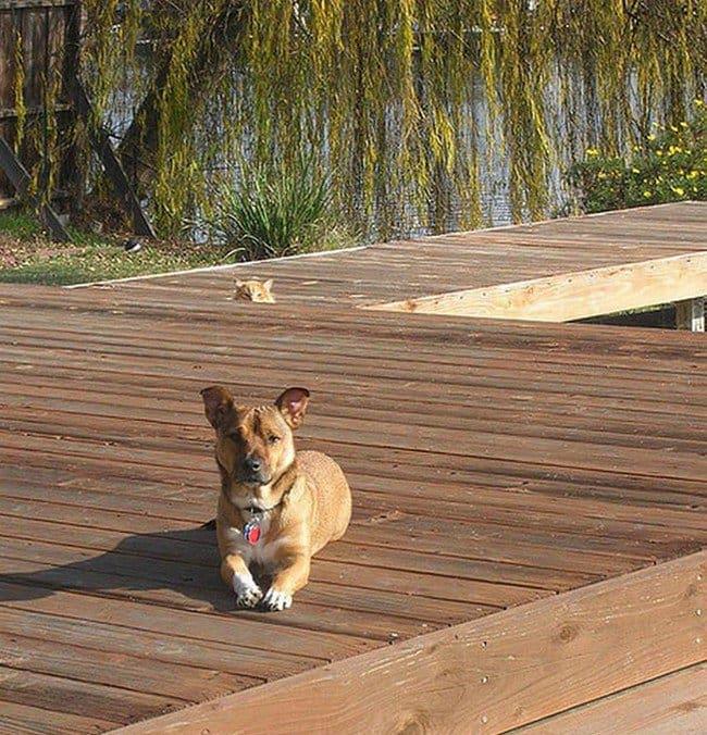 funny cat photobombs dog outdoors cat