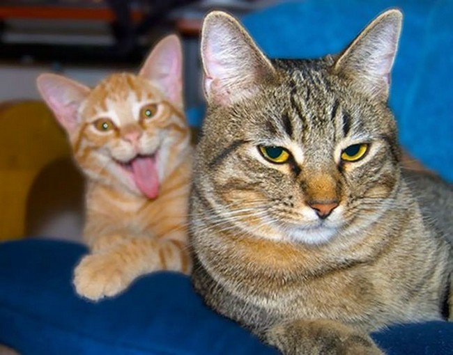 funny cat photobombs pair cats tongue