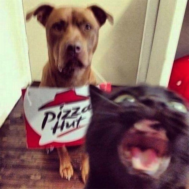 funny cat photobombs pizza dog