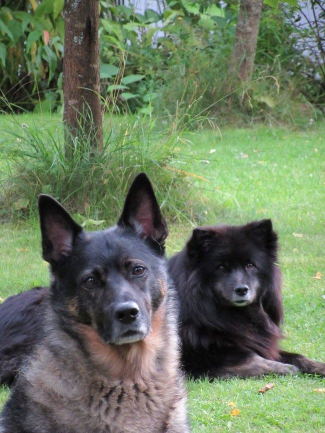 life with dogs black dog pair