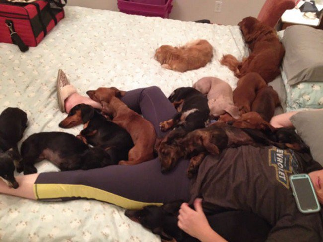 life with dogs dachshunds person