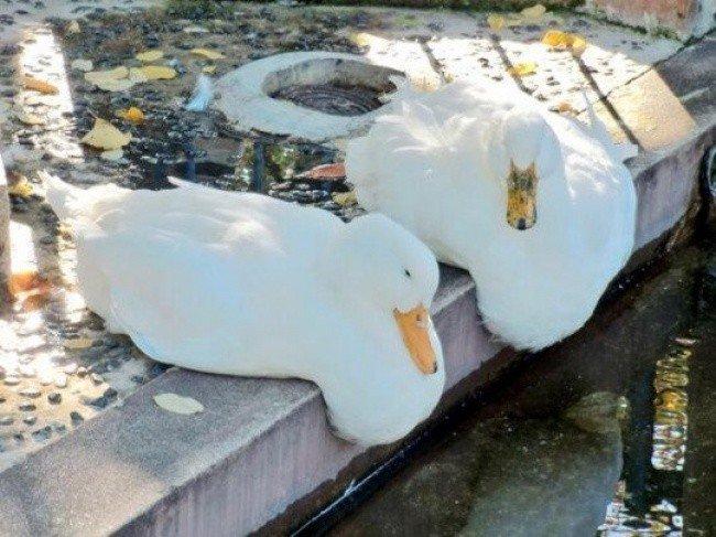 squished animals duck pair