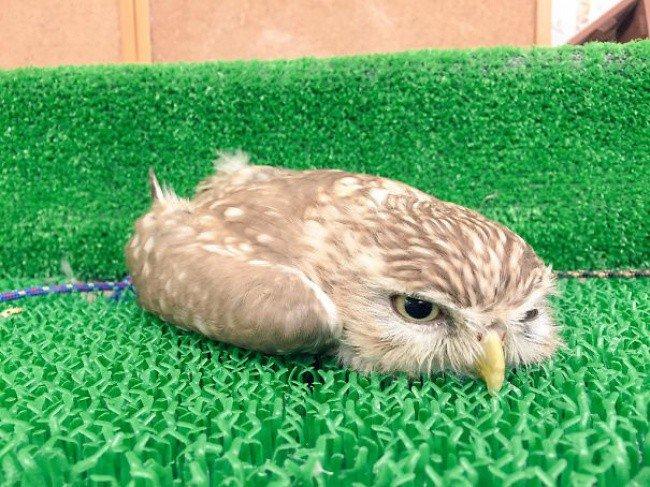 squished animals owl fake grass