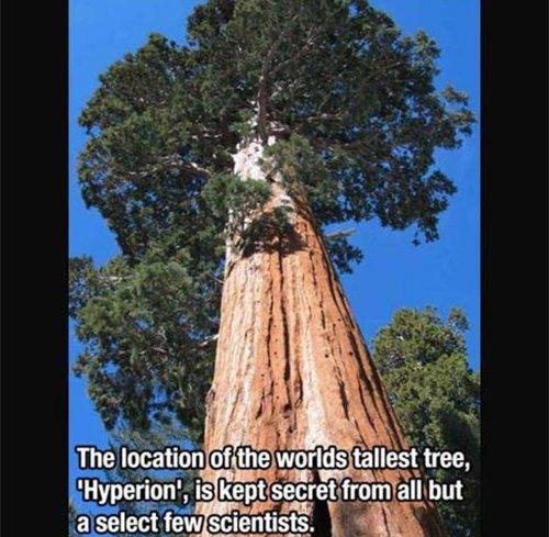 worlds tallest tree fact