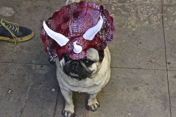 drunk purchases jurrasic pug hat
