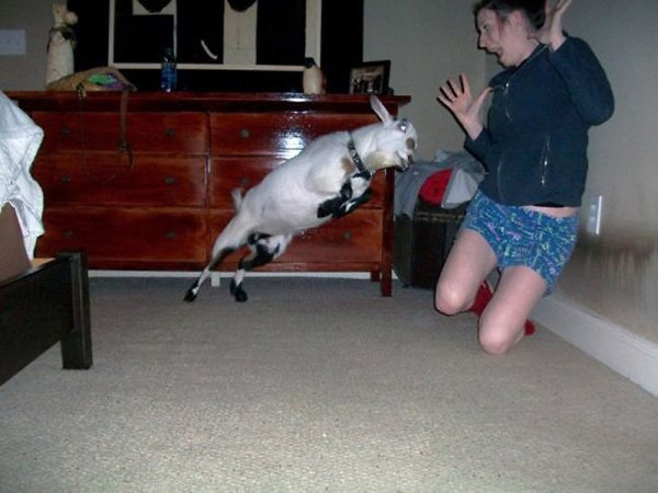 goat about to headbutt woman