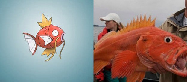 magikarp yellow rockfish copy