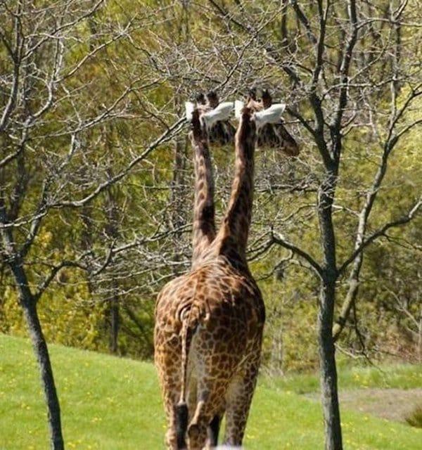 two headed giraffe