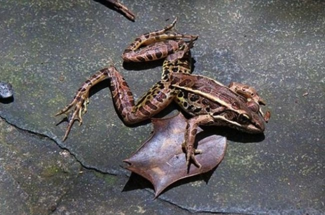 Astonishing Facts rained frogs