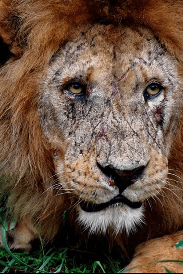 Intriguing Images lion with scars