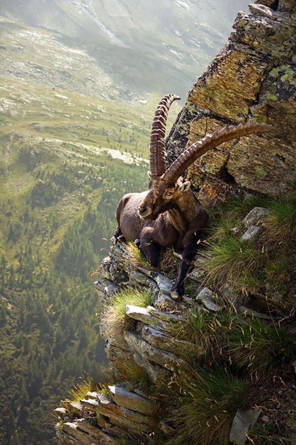 Intriguing Images mountain goat sitting on cliff