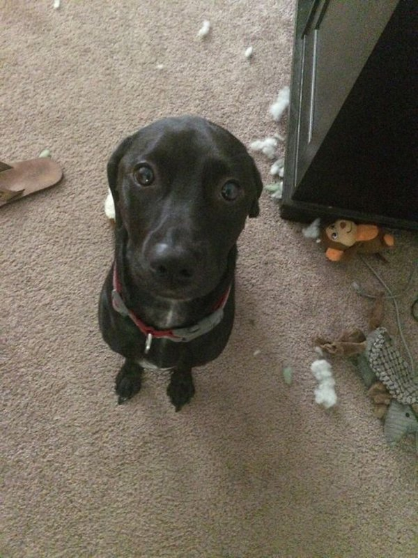 Pets Caught Red Handed ears disappear when busted