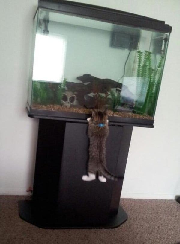 Pets Caught Red Handed kitten trying to get fish