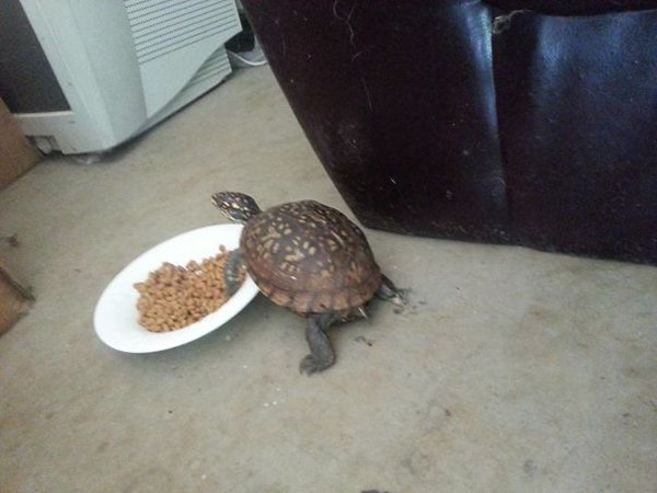 Pets Caught Red Handed turtle stealing cat food