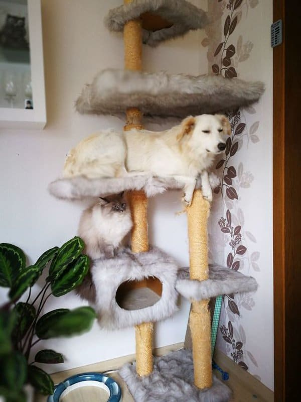Dogs Who Think They Are Cats dog chilling on cat jungle