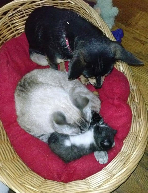 Dogs Who Think They Are Cats dog helping out with kitten