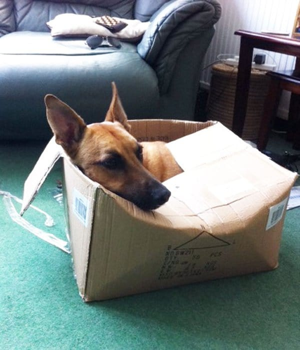 Dogs Who Think They Are Cats dog in box