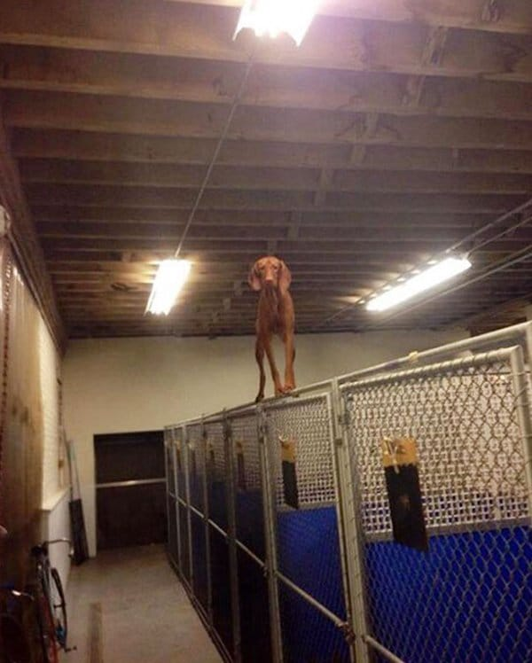 Dogs Who Think They Are Cats dog on kennel gate