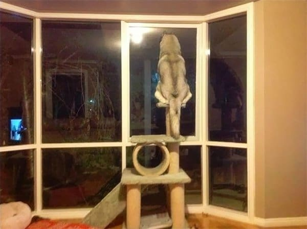 Dogs Who Think They Are Cats dog sitting on cat climber