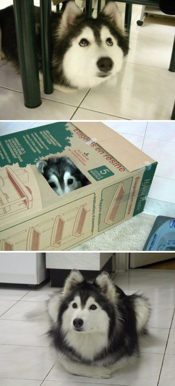 Dogs Who Think They Are Cats husky raised by cats