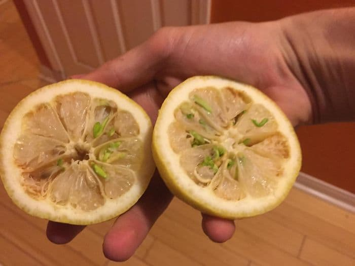 Fruit And Vegetables Start Sprouting Early lemon