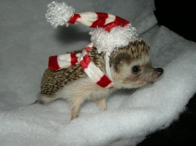 Photos That Will Make You Smile christmas hedgehog