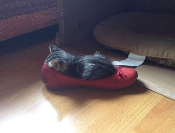 cats fitting into small places kitten in shoe