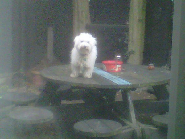 Badass Animals dog on table