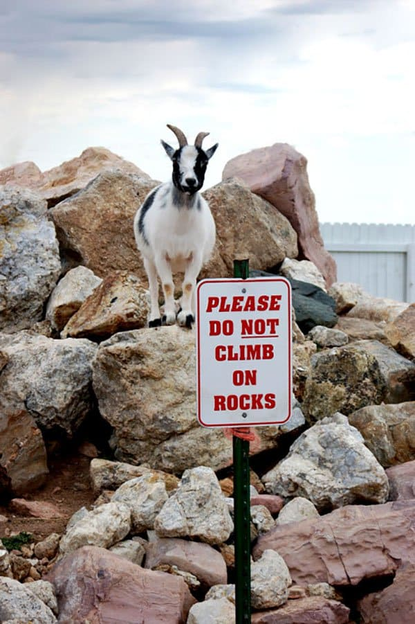 Badass Animals goat do not climb on rocks