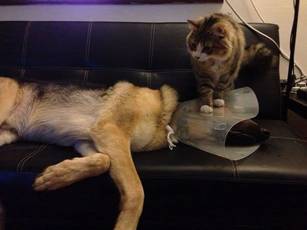Cats And Dogs Live Together cat squashing dog cone