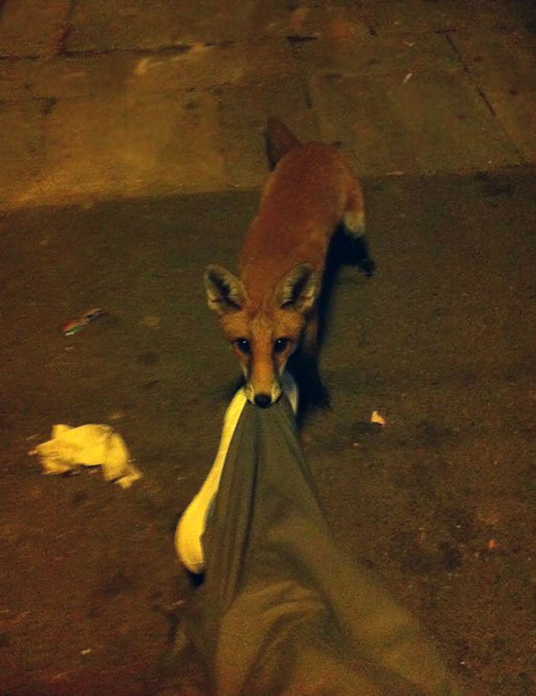 'I Woke Up To This' Moments fox biting trousers