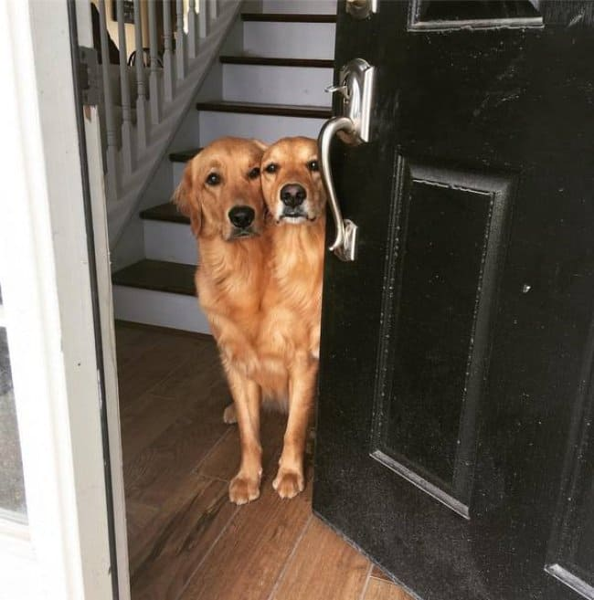 Misleading Photos two dogs merged in to one