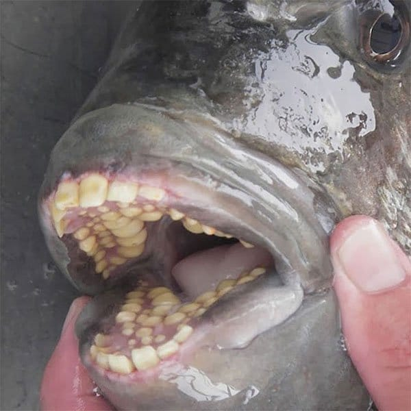 Terrifying Pictures Of Nature fish with human teeth