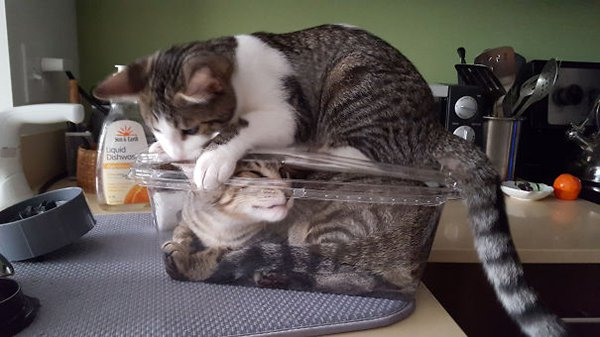 Animals Being Total Jerks cat shutting cat in box