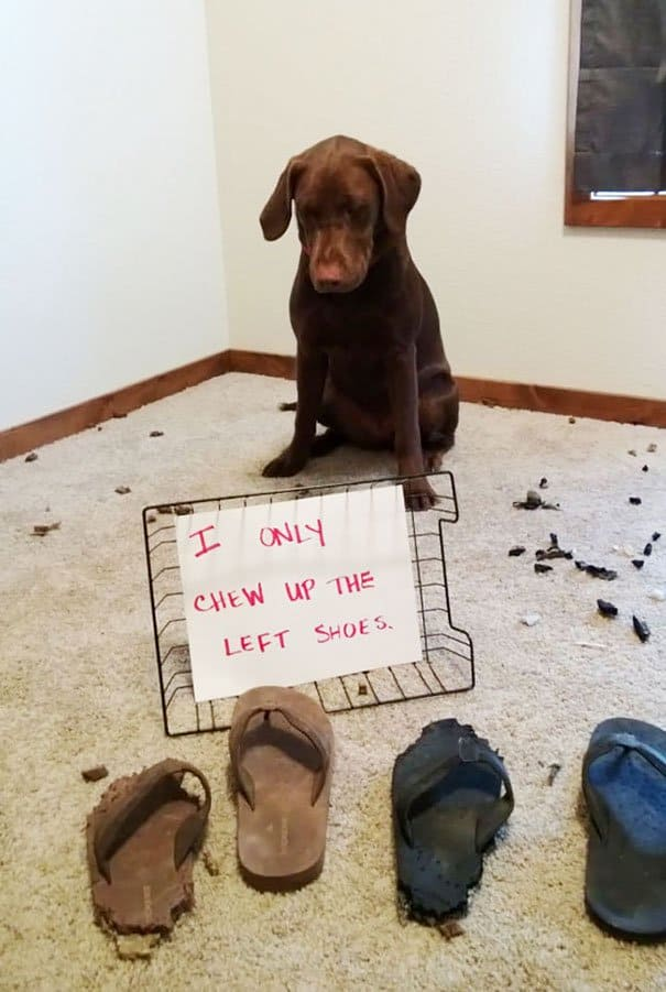 Naughty Dogs Being Shamed left shoes