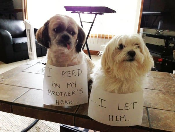 Naughty Dogs Being Shamed peed on brothers head