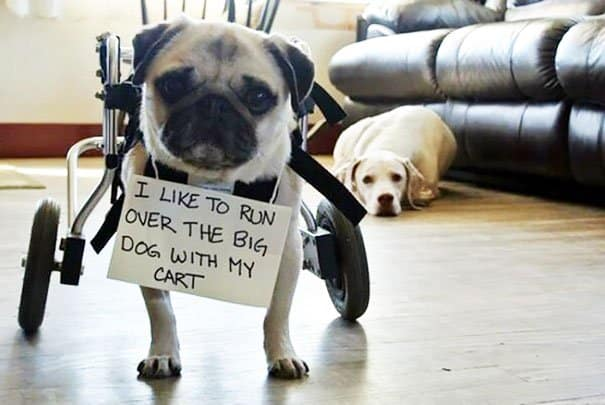 Naughty Dogs Being Shamed run over big dog