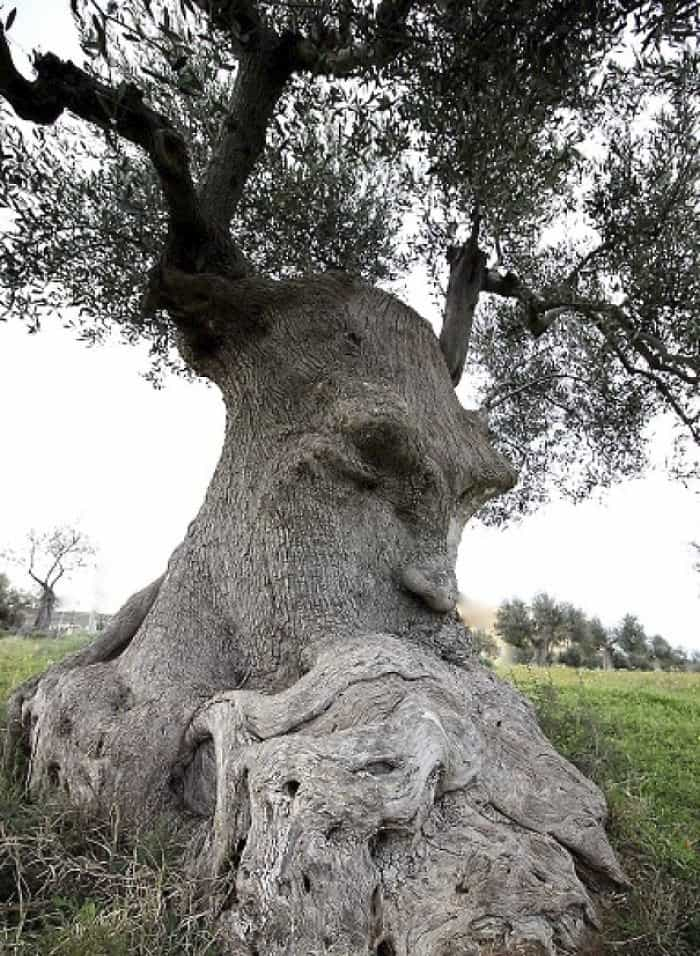 Trees That Look Like Something Else face with a beard