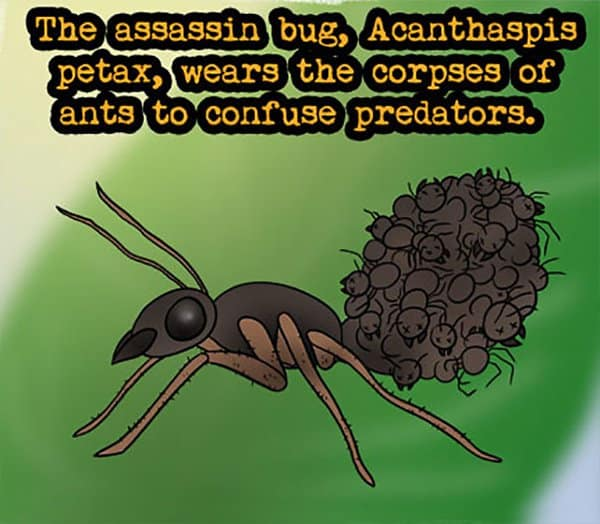 Weird Animal Facts assasin bug