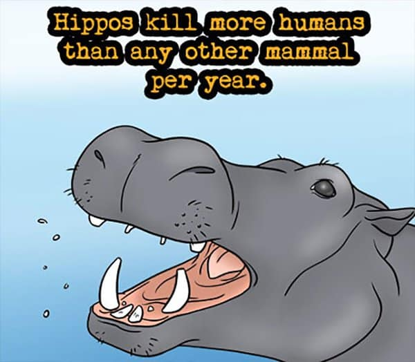 Weird Animal Facts hippos kill more humans