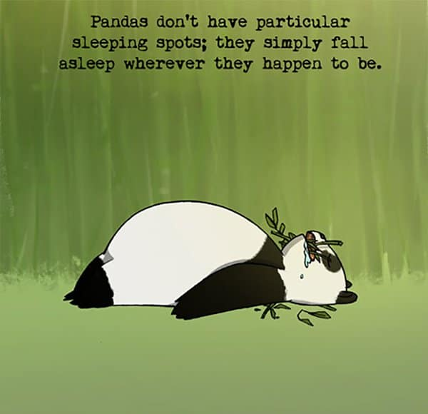 Weird Animal Facts pandas dont have any particular sleeping spots