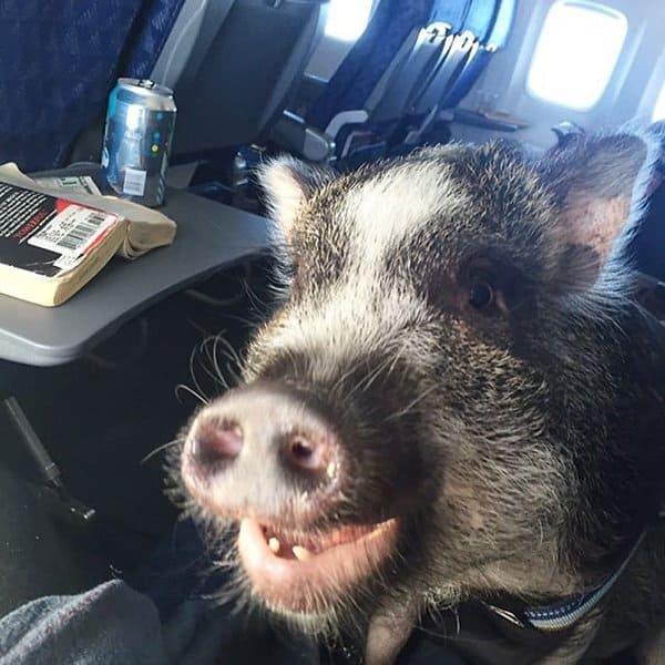 Animals On Flights when pigs fly