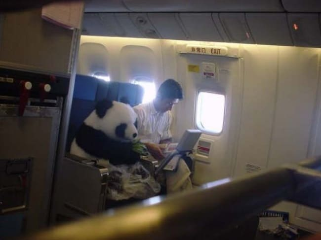 Crazy Things Spotted On Flights panda