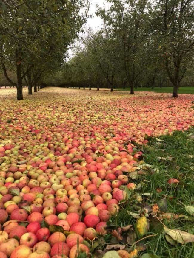 Photos Of Nature apple orchard after hurricane